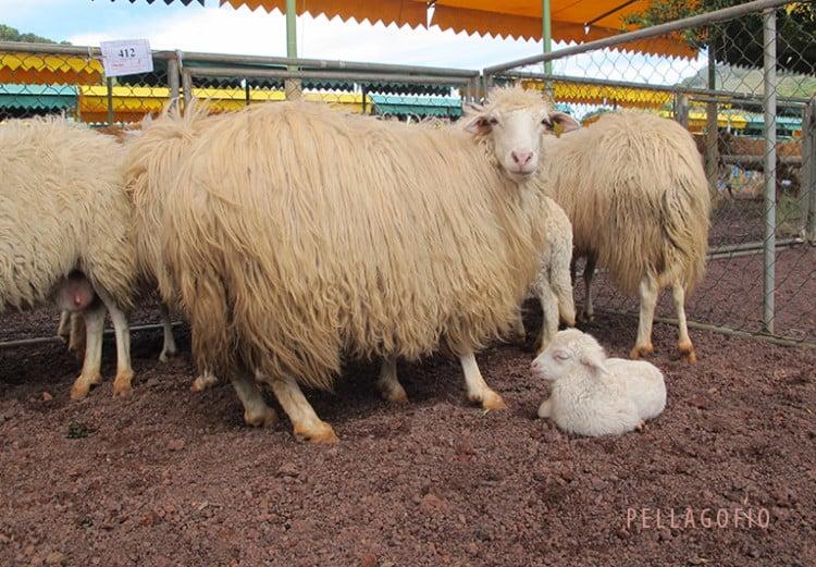 Una feria de ganado con siglos de historia en Canarias | Pellagofio